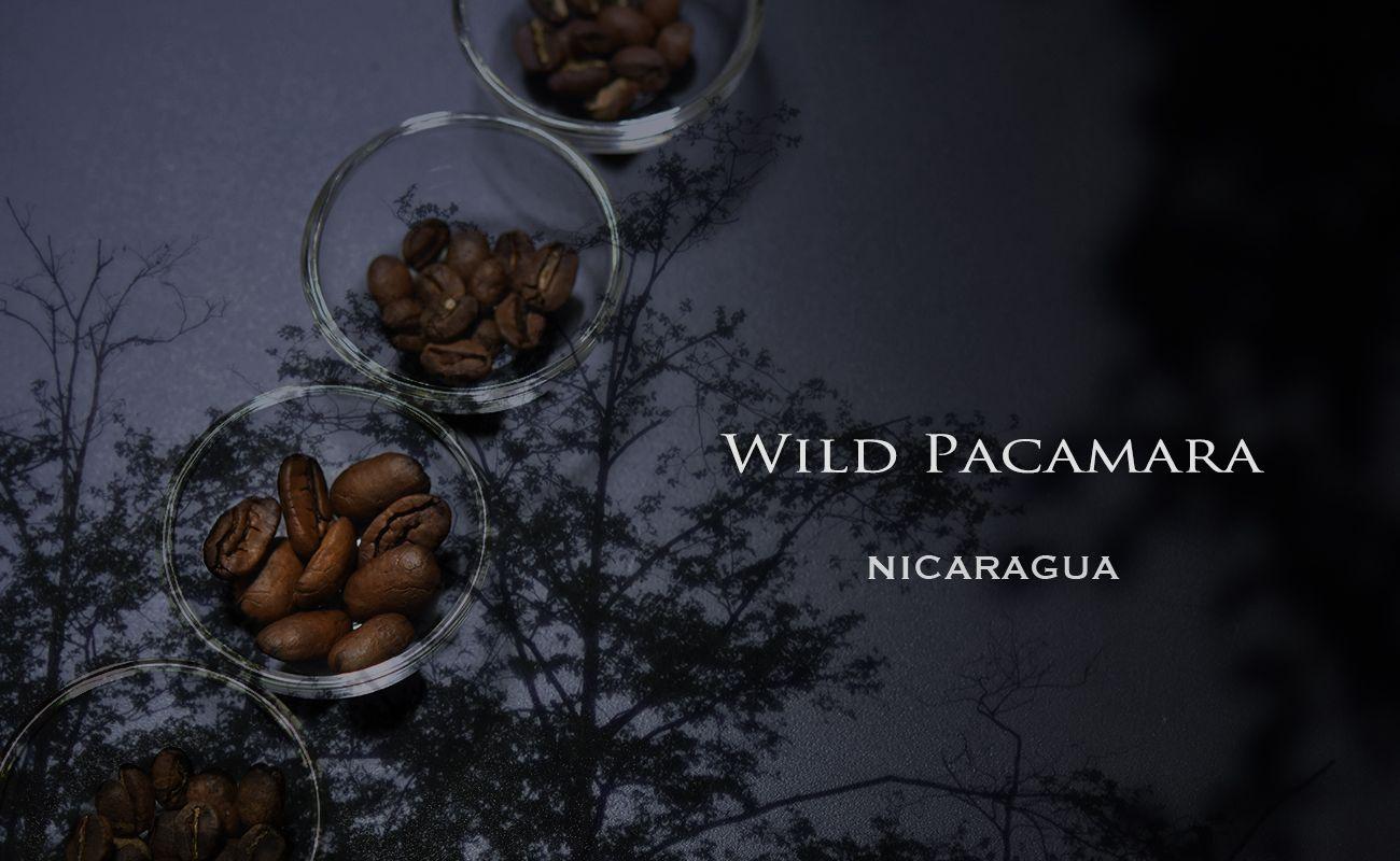 ニカラグア ワイルド パカマラ スペシャルティコーヒー通販